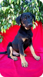 Shepherd (Unknown Type)/Labrador Retriever Mix Puppy for adoption in Corona, California - JIMMY