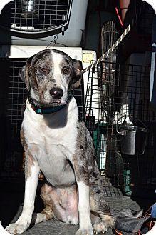 Catahoula Leopard Dog Mix Dog for adoption in White Cottage, Ohio - Buddy