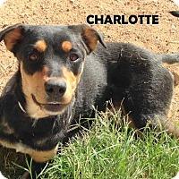 Adopt A Pet :: CHARLOTTE - Higley, AZ
