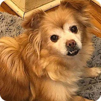 Pomeranian/Pekingese Mix Dog for adoption in SO CALIF, California - CINDY