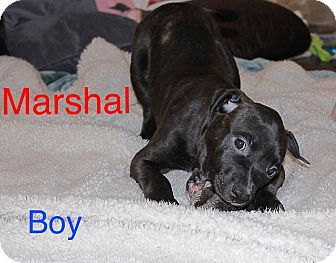 American Pit Bull Terrier Mix Puppy for adoption in Salem, Oregon - Marshal