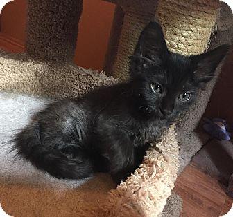 Domestic Mediumhair Kitten for adoption in Charlotte, North Carolina - A..  Franco Marie