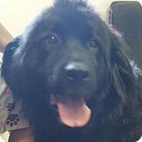 Adopt A Pet :: CASSIE - GENTLE GIANT - Smithfield, PA