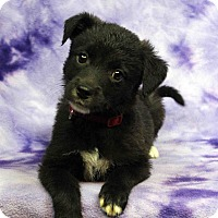 Adopt A Pet :: Peony - Westminster, CO