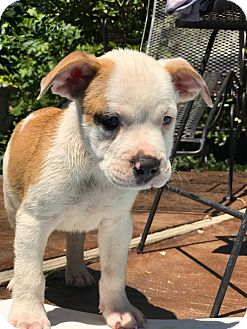 American Bulldog Mix Puppy for adoption in Cranford, New Jersey - Salty