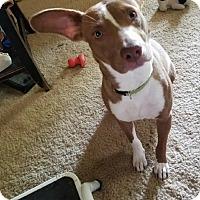 Adopt A Pet :: Sandy - Goodlettsville, TN