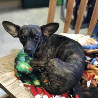 Adopt A Pet :: Stacie - The Dalles, OR