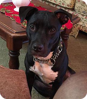 American Staffordshire Terrier Mix Dog for adoption in Fulton, Missouri - Maggie - California