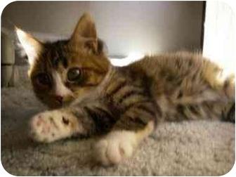Domestic Shorthair Kitten for adoption in Davis, California - Gretchen