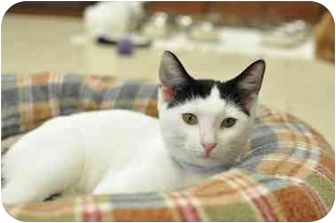 Domestic Shorthair Cat for adoption in Byron Center, Michigan - Luna