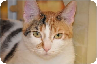 Calico Cat for adoption in Foothill Ranch, California - Molly