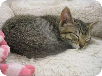 Domestic Shorthair Kitten for adoption in The Colony, Texas - Mia