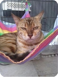 Bengal Cat for adoption in Lantana, Florida - Precious Peridot