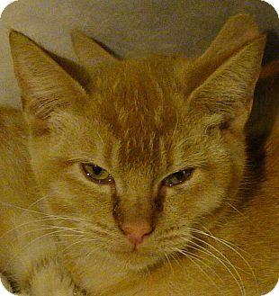 Domestic Shorthair Kitten for adoption in El Cajon, California - Rajah