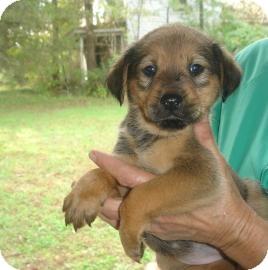 Shepherd (Unknown Type)/Hound (Unknown Type) Mix Puppy for adoption in Old Bridge, New Jersey - Cherise