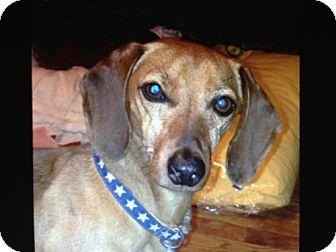 Dachshund Dog for adoption in Atascadero, California - Skippy