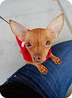 Chihuahua Mix Dog for adoption in Baton Rouge, Louisiana - Ginger Snap
