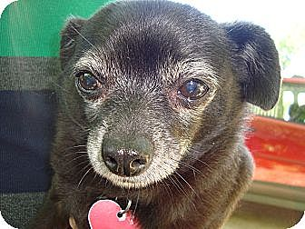 Chihuahua Mix Dog for adoption in Carrollton, Texas - Danny Boy