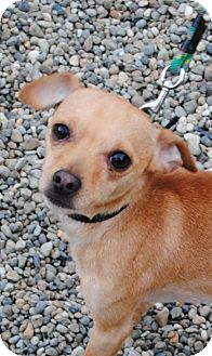 Chihuahua Mix Dog for adoption in Burley, Washington - Mogli