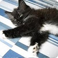 Adopt A Pet :: Shana - Brooklyn, NY