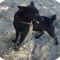 Adopt A Pet :: Springer - Midland, TX