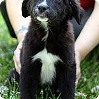 Adopt A Pet :: Skyy - South Jersey, NJ