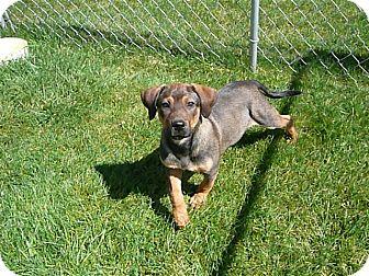 German Shepherd Dog/Hound (Unknown Type) Mix Puppy for adoption in Liberty Center, Ohio - Natalie