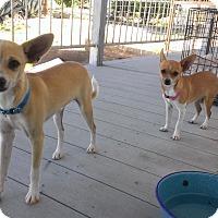 Adopt A Pet :: Riku - Wickenburg, AZ