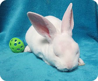 Mini Rex Mix for adoption in Los Angeles, California - Chicklet