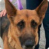 Adopt A Pet :: Maven - Laingsburg, MI