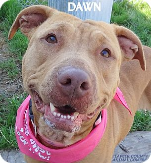 Pit Bull Terrier Mix Dog for adoption in Lapeer, Michigan - DAWN (REAL NAME ZOEY) GORGEOUS