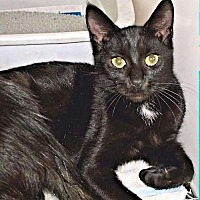 Domestic Shorthair Cat for adoption in Nashua, New Hampshire - Breezy