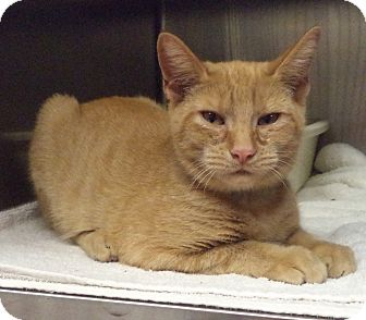 Domestic Shorthair Cat for adoption in Marietta, Georgia - KODA