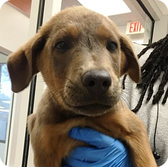 Shepherd (Unknown Type) Mix Puppy for adoption in Miami, Florida - Domingo