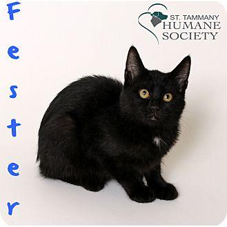 Domestic Shorthair Kitten for adoption in Covington, Louisiana - Fester