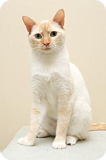 Siamese Cat for adoption in Bellingham, Washington - Suri