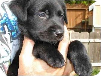 Golden Retriever/Retriever (Unknown Type) Mix Dog for adoption in Vista, California - Louise