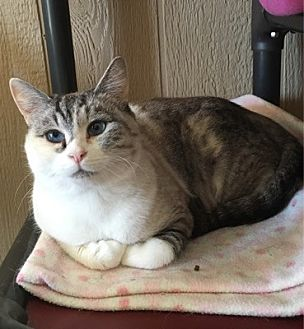 Siamese Cat for adoption in Temecula, California - Cleo