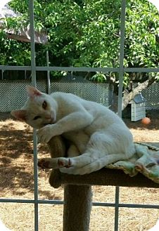 Domestic Shorthair Cat for adoption in Columbia, South Carolina - Blanco