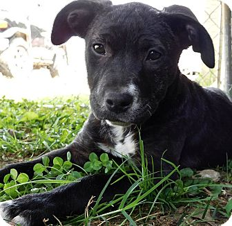 Labrador Retriever/Pit Bull Terrier Mix Puppy for adoption in St. Francisville, Louisiana - Flossie