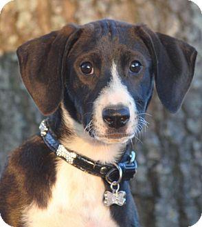 Hound (Unknown Type)/Foxhound Mix Puppy for adoption in Cedartown, Georgia - Whitney