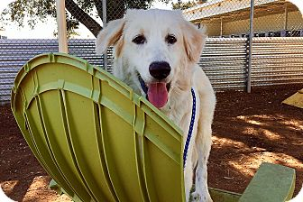 Great Pyrenees Puppy for adoption in Kyle, Texas - Fabio