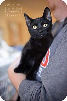 Domestic Shorthair Cat for adoption in Edwardsville, Illinois - Elm