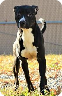 Terrier (Unknown Type, Medium)/Feist Mix Dog for adoption in Lincolnton, North Carolina - James