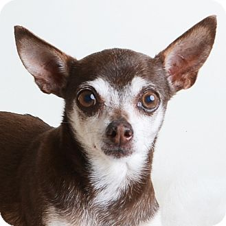 Mixed Breed (Small)/Chihuahua Mix Dog for adoption in Wilmington, Delaware - Nyla