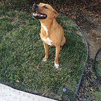 Adopt A Pet :: Chief - Sacramento, CA