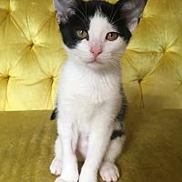 Adopt A Pet :: Donatella - St. Louis, MO