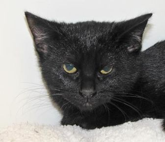 Colorpoint Shorthair/Domestic Shorthair Mix Cat for adoption in Woodstock, Illinois - Blackie