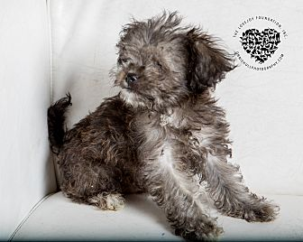 Terrier (Unknown Type, Small) Mix Puppy for adoption in Inglewood, California - Ewok