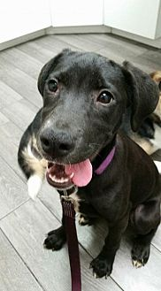 Boxer Mix Puppy for adoption in Milwaukee, Wisconsin - Molly